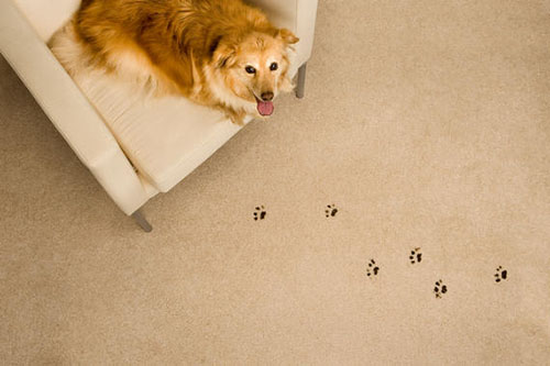 Rug Cleaning DC Pet Odor And Stains On Carpet And Upholstery